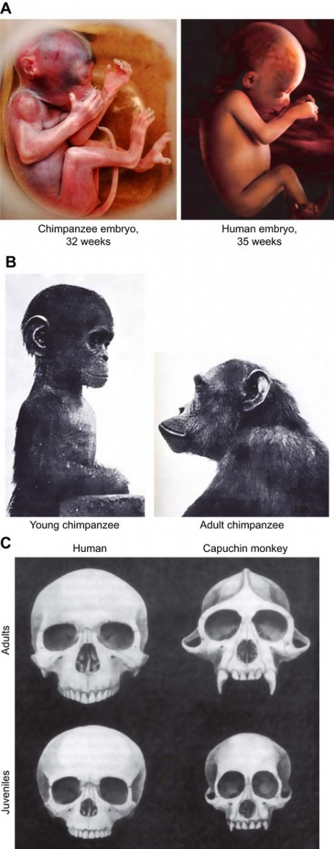 chimpanzee embryos - 472×1200